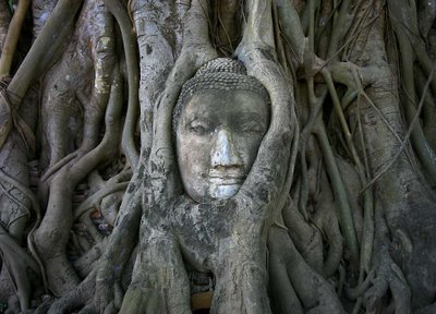 Buddha head among the roots of a bodhi tree, Wat Phra Mahathat temple complex, Thailand